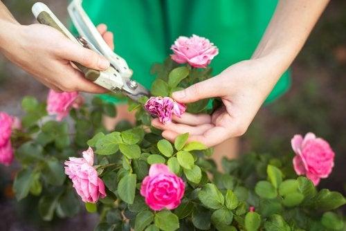 manutenção das roseiras