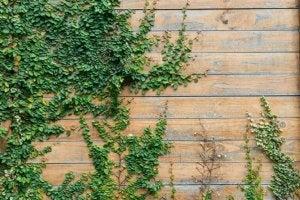 Decorar com plantas-hera