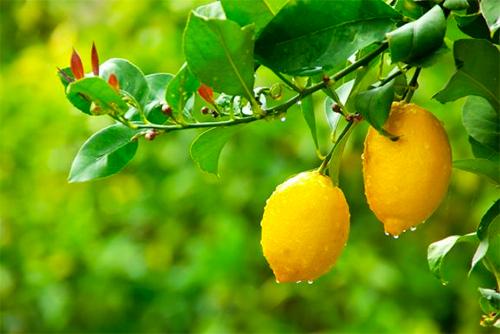 5 dicas para plantar limoeiros no jardim