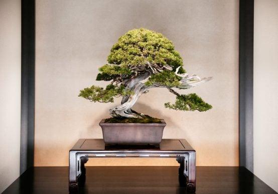 Decorar com bonsai e como cuidá-lo