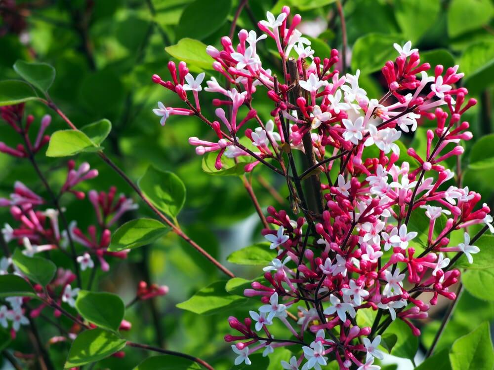 O lilás e a figueira-Decorar com bonsais