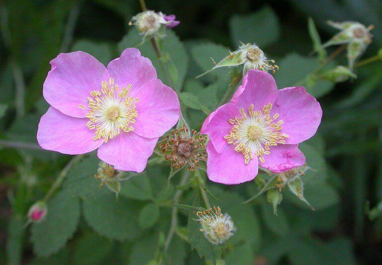 Rosa silvestre californiana