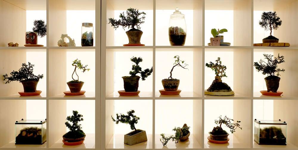 Bonsais: belas árvores em miniatura