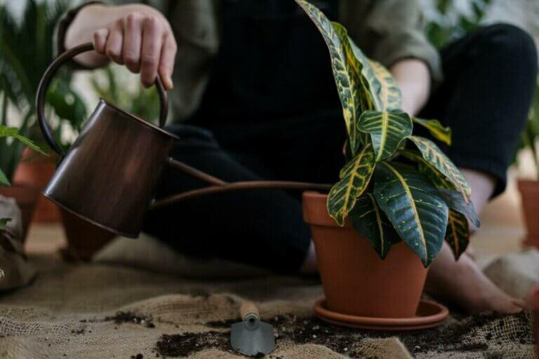 É assim que se recupera uma planta que foi regada excessivamente