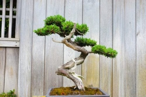 bonzai ağacı