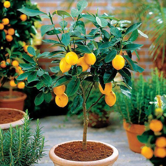 Bir saksıya ekili meyve ağacı
