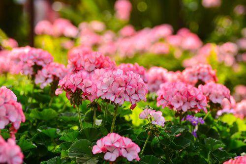 açık pembe renkte sardunyalar ve bahçe bitkisi