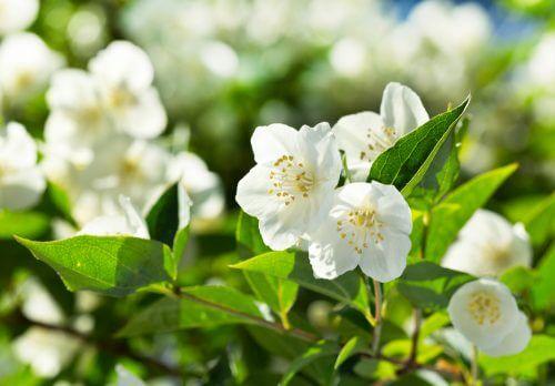beyaz çiçek açmış yasemin ve bahçe bitkisi