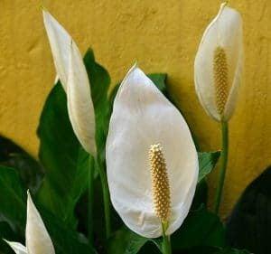 Evde temiz hava için Barış Çiçeği