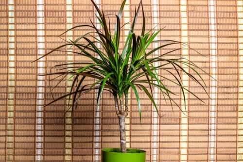 Hasır perde önünde renkli yapraklı bitki