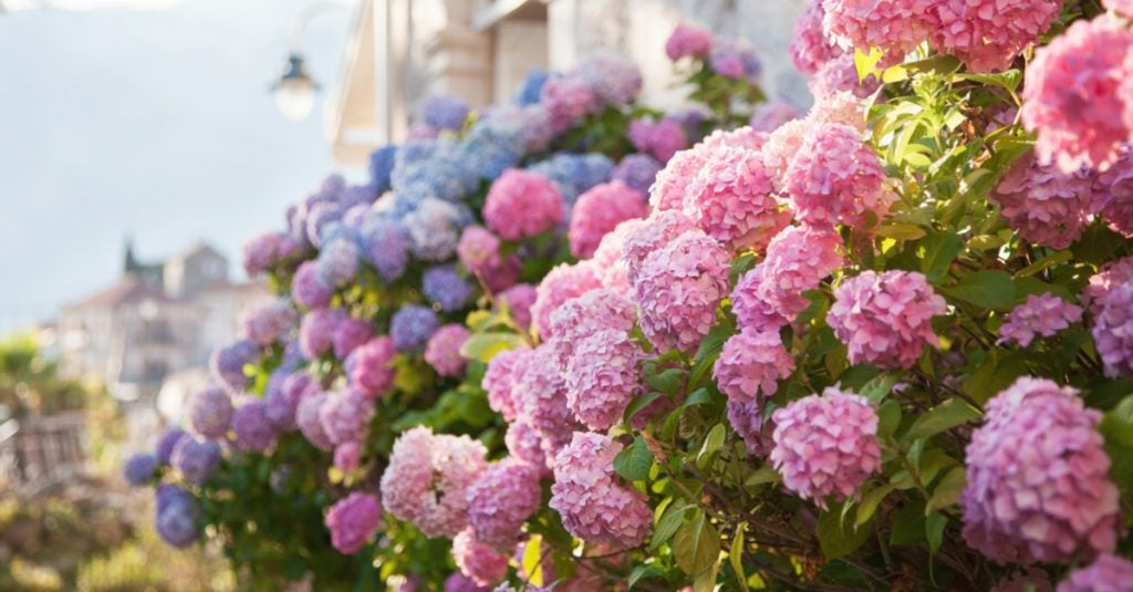 Garden Care: the Best Tips for Hydrangeas