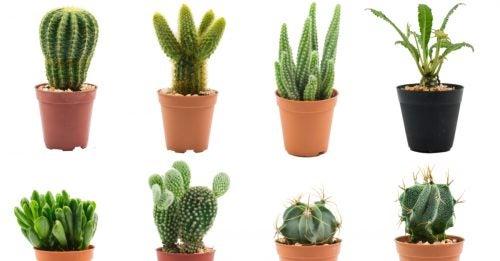 Cactus buying tips