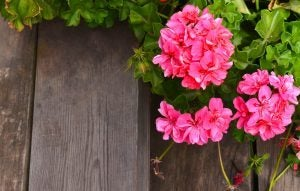 Geraniums are beautiful plants with beautiful, striking flowers.