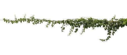 outdoor ivy