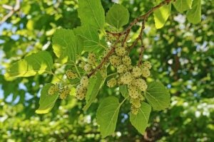 Mulberry silk is named after the mulberry plant the silkworms feed on.