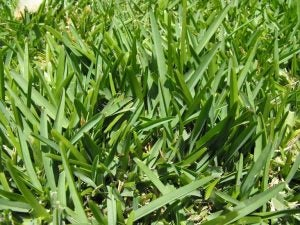 Buffalo grass is one of the most common ornamental grasses used for our lawns.