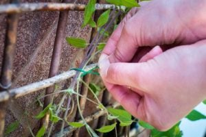 Tie your climbing plants to a support to help them grow properly.