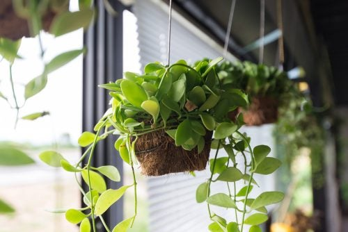 Windows hanging plant