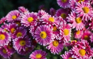 Chrysanthemums are a great option for an autumn garden.