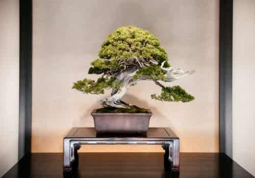 Decorating with Bonsai and How to Care for them