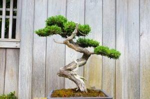 분재 나무는 그 아름다운 줄기로 잘 알려져 있다.