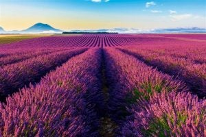 Lavender is one of the most popular bedroom fragrances.