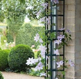 A trellis covers a metal downpipe and has jasmine growing over it
