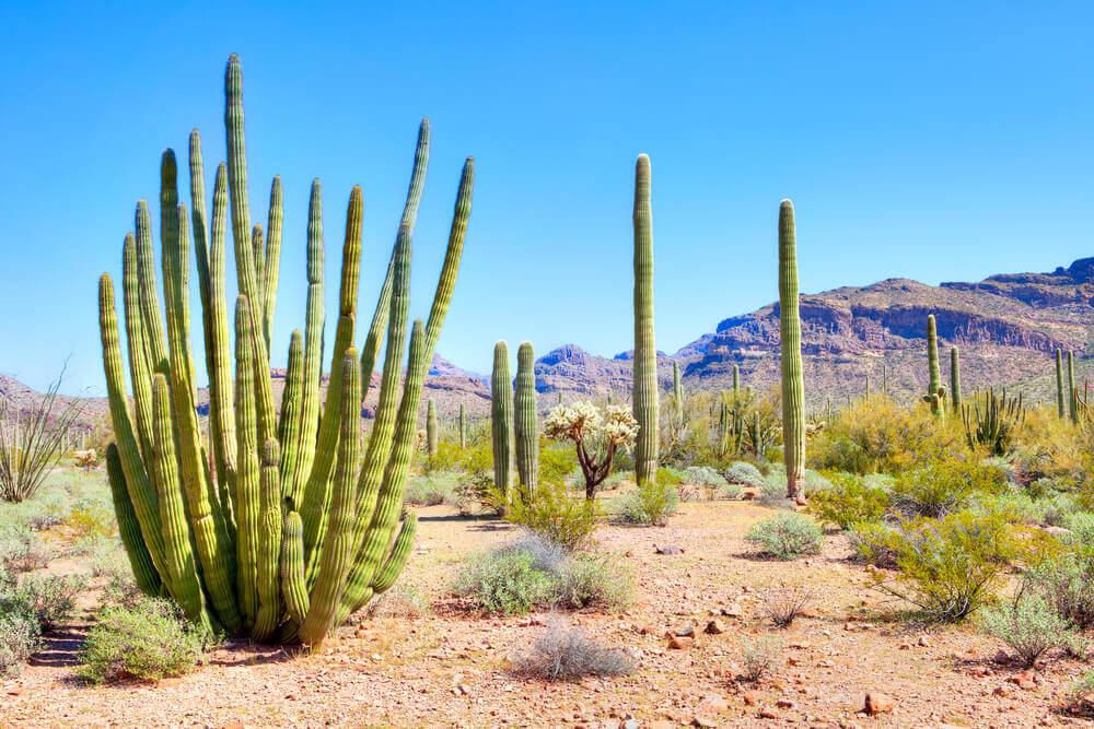 cacti branching