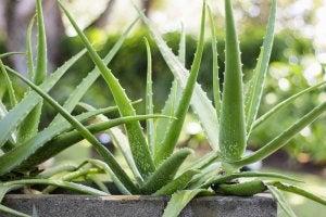 succulents aloe vera