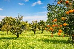 An orange orchard.
