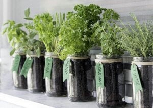 Growing herbs in mason jars.