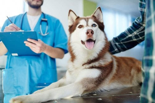 A dog getting a check up at the veterinarians office.