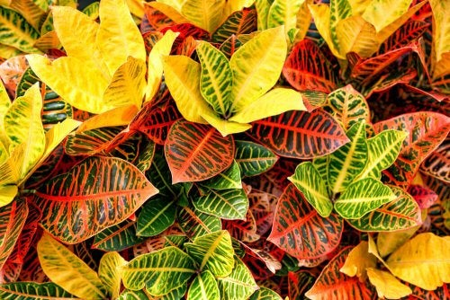A group of plants with colored leaves