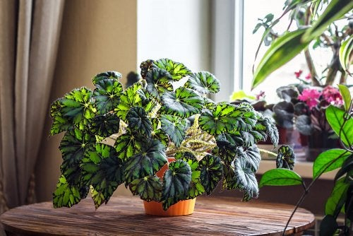 A large begonia plant with colored leaves