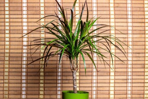 A dracena plant with colored leaves