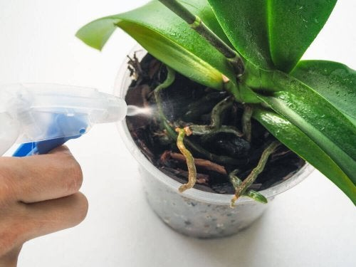 Large orchid plant with no flowers
