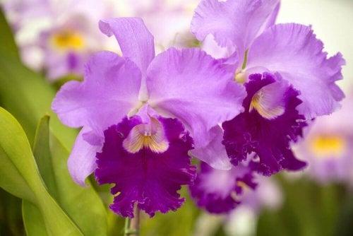 Large purple orchids