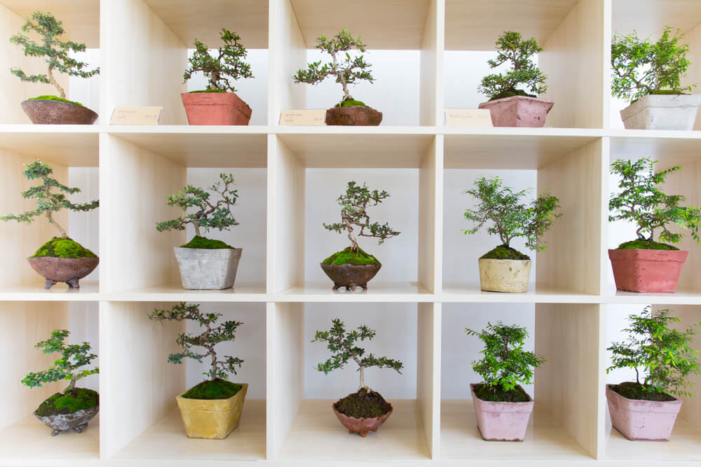 Small bonsai trees in a shelving unit.