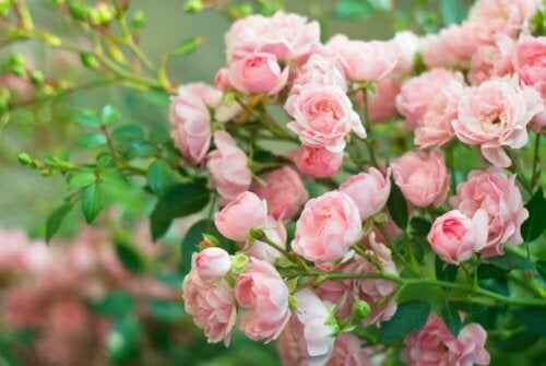 A pink rose bush.