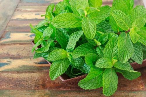 A pot with mint.
