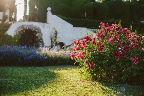 A small rose bush.