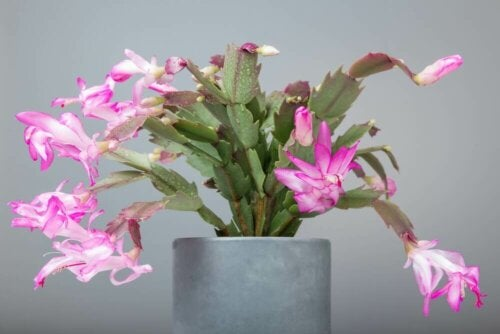 The Christmas cactus is one of the best indoor plants for winter.