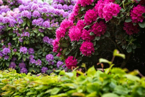 Bushes with purple and pink flowers.