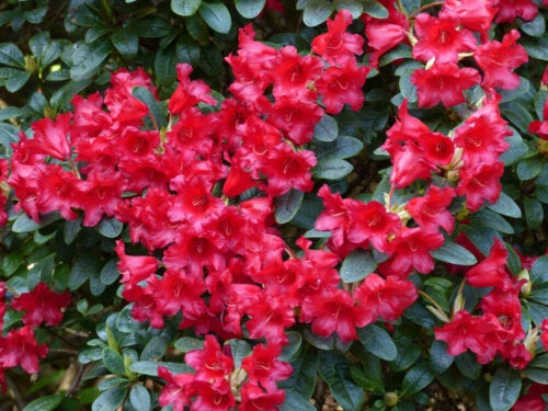 A rhododendron plant with red flowers.