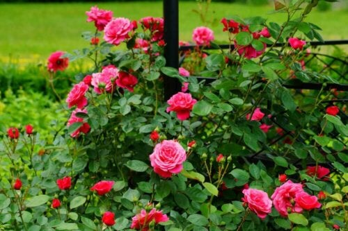 Rose plants with pink and red flowers.