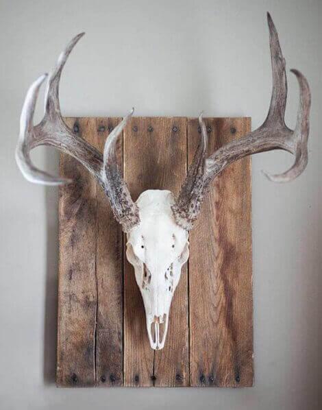 Coat rack made from a deer skull
