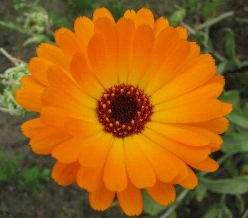 A common marigold.