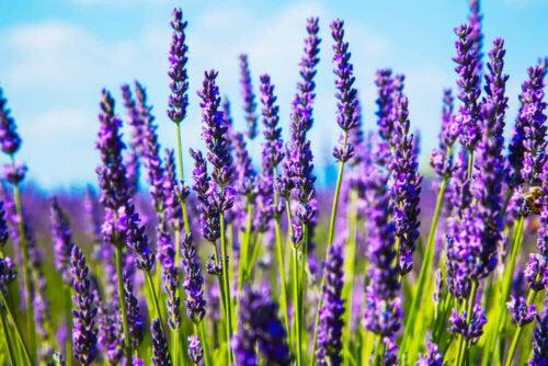 Lavender in a field.