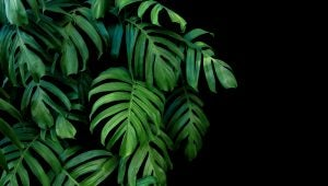 Monstera plant.