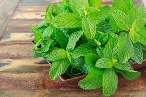 A mint plant on a wooden table.